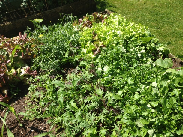 Masses of lettuce - have started to give it away!