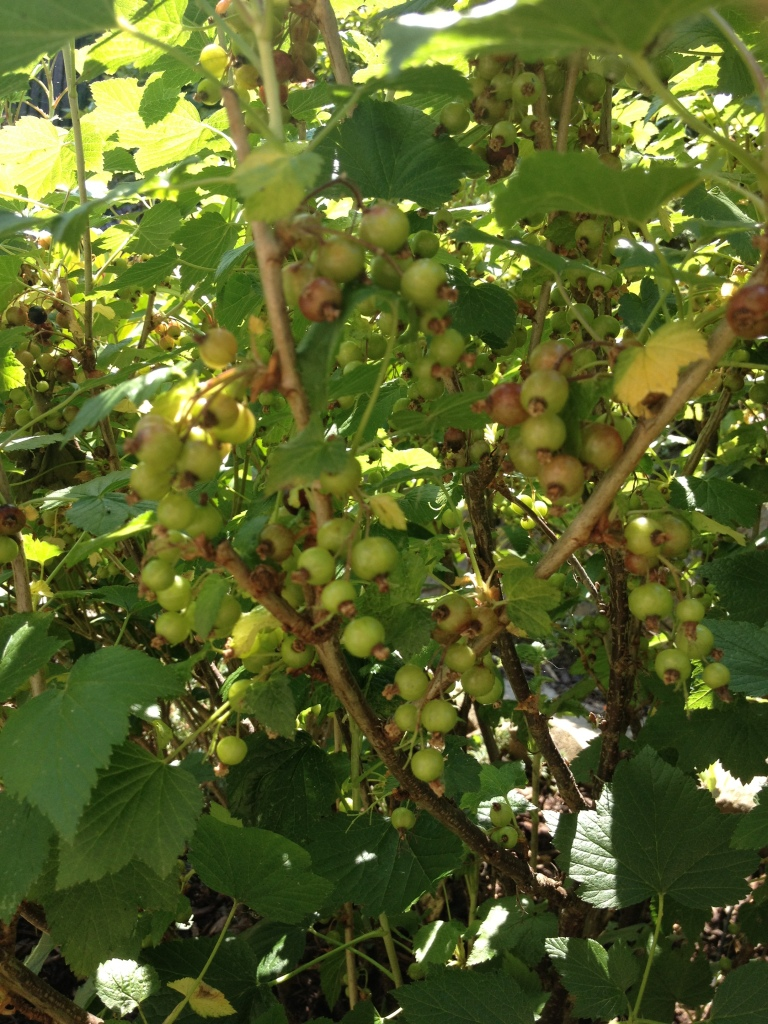 Black currants - a few weeks away yet