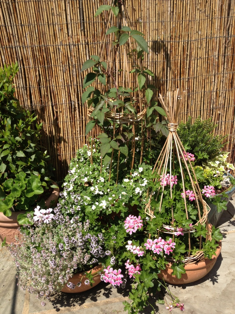 The cane plant supports that Freya and I made earlier in the year are looking lovely