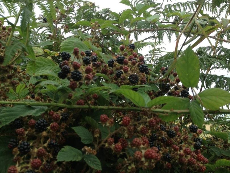 Blackberry bounty
