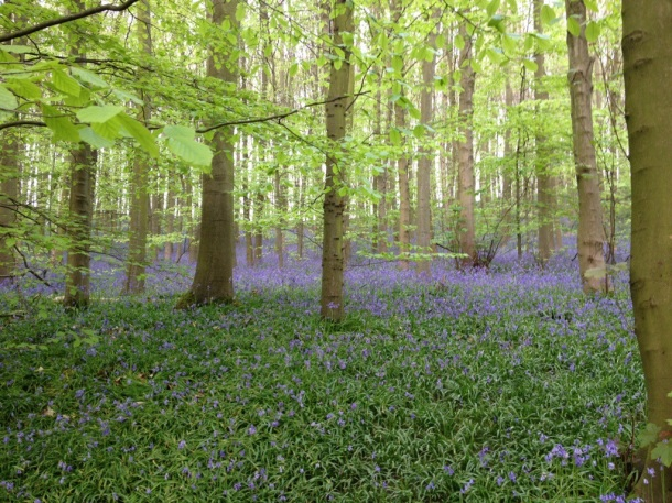 The Bluebells at Newmillerdam Woods
