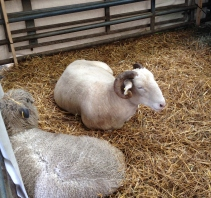 The rare breed sheep were 'not bovered'